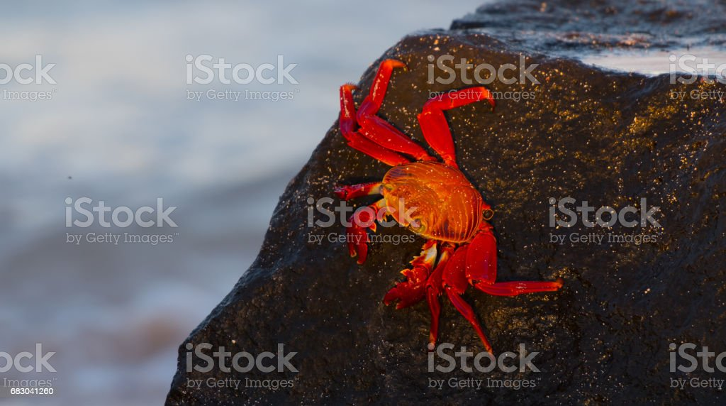 Sally Lightfoot Crab foto de stock royalty-free