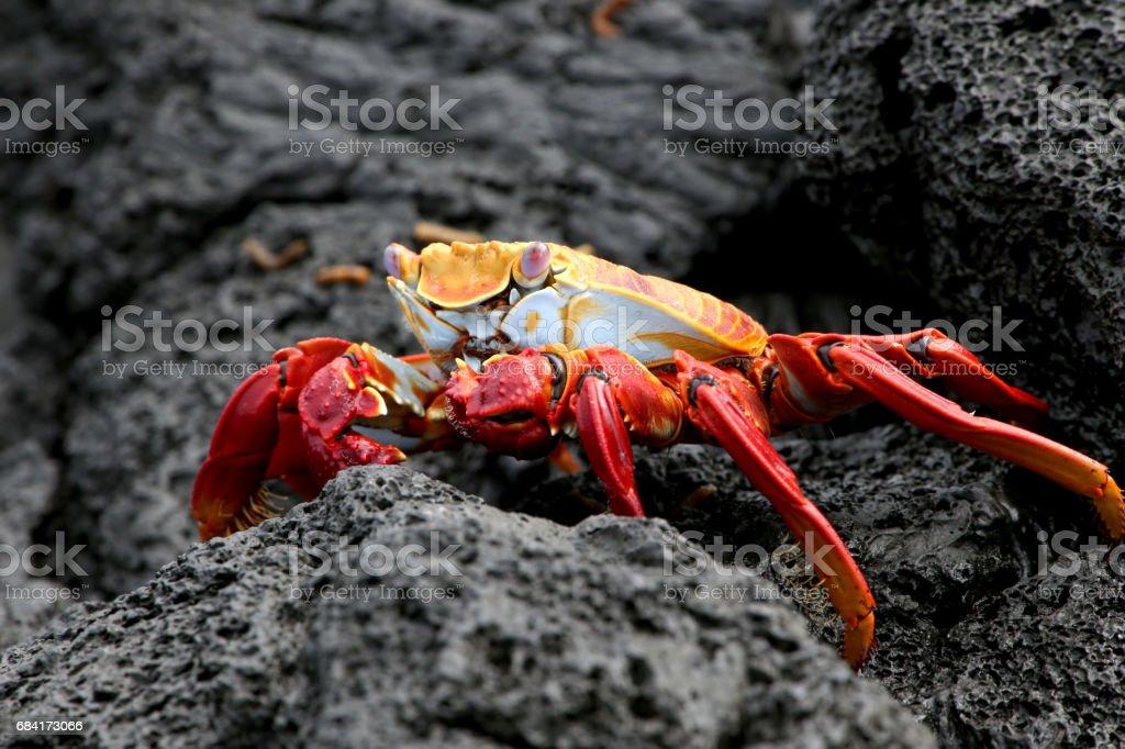 Sally Lightfoot Crab foto stock royalty-free
