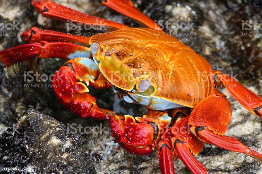 Sally Lightfoot Crab royalty-free stock photo