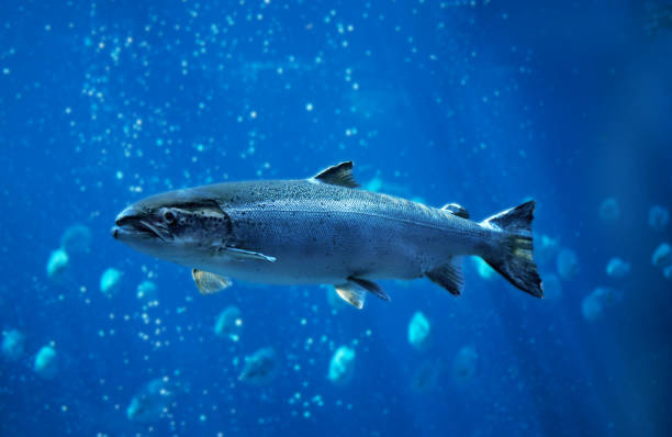 ATLANTIC SALMON salmo salar, QUEBEC CANADA ATLANTIC SALMON salmo salar, QUEBEC CANADA atlantic salmon stock pictures, royalty-free photos & images