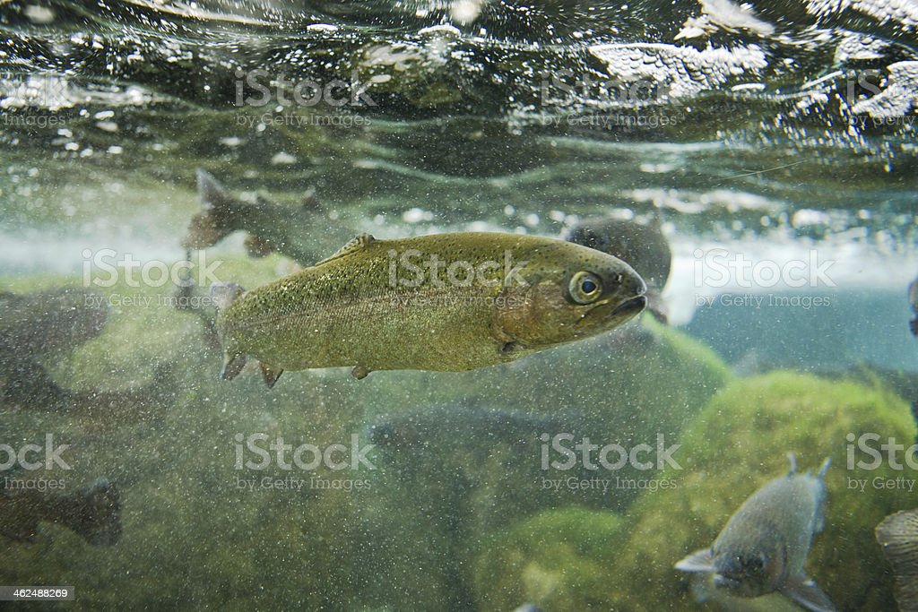 Salmo trutta or Brown trout stock photo