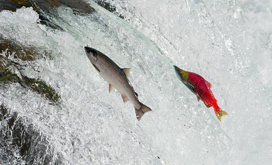 Salmon, Alaska