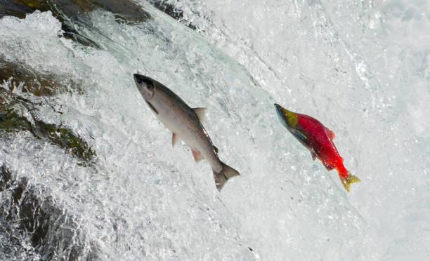 Salmon, Alaska Salmon, Alaska salmonidae stock pictures, royalty-free photos & images