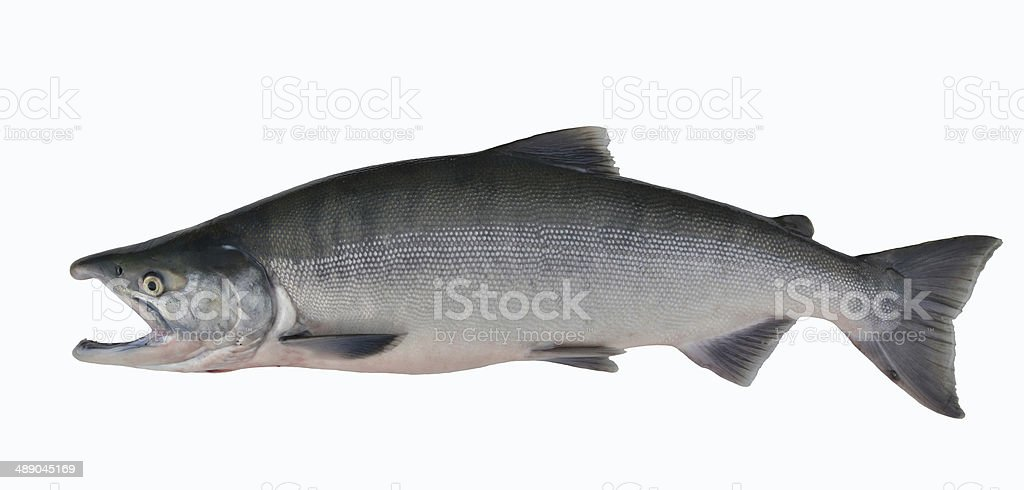 Salmon, Alaska stock photo