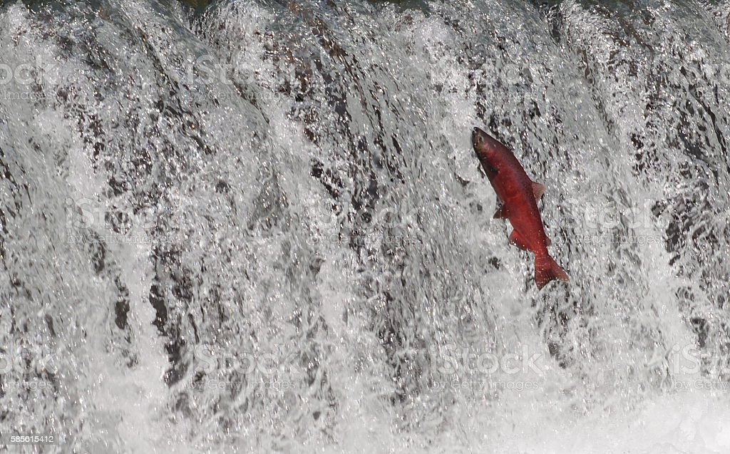 Salmon, Alaska stock photo