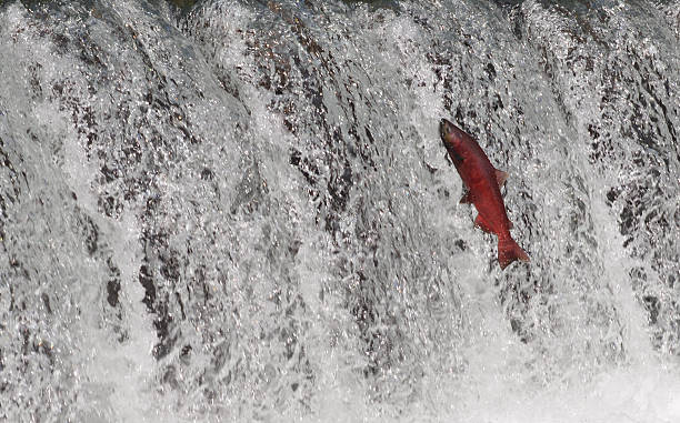 salmon, alaska - chinook salmon stock photos and pictures