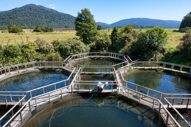 salmon aquaculture in rural new zealand - aquaculture stock pictures, royalty-free photos & images