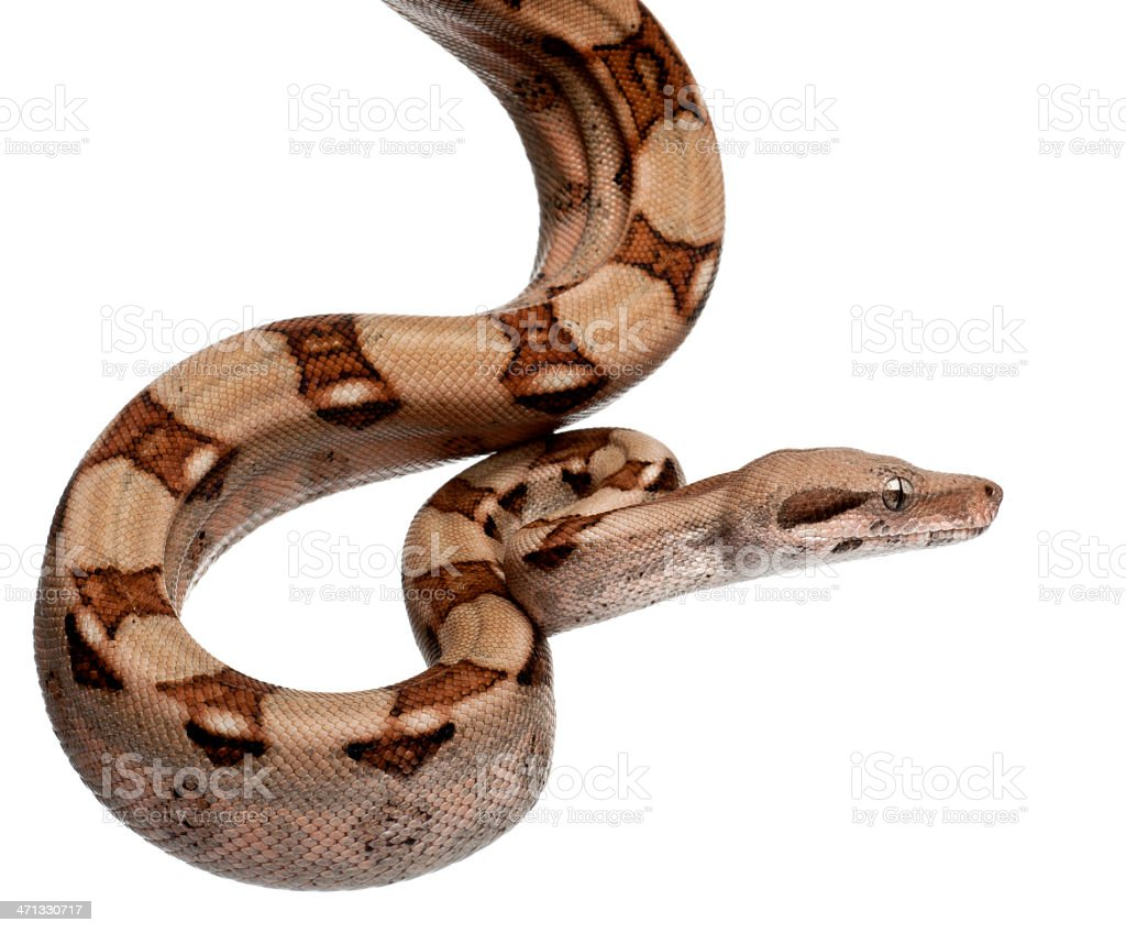 Salmon Boa constrictor, two months old, white background. stock photo