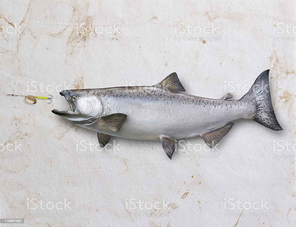 Salmon chasing lure on textured background stock photo