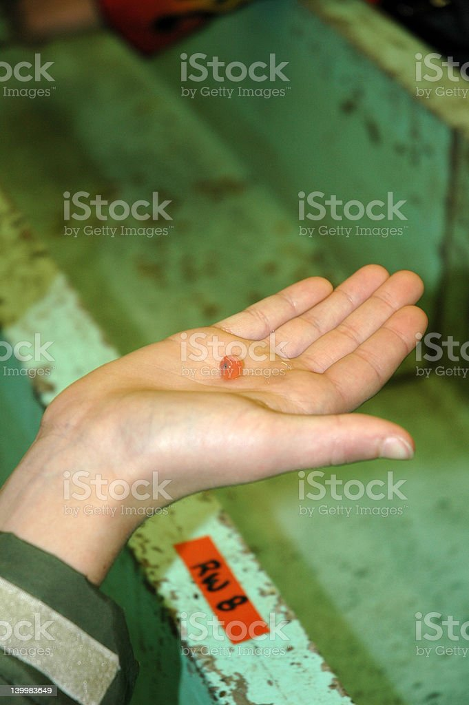 Salmon Egg in Hand royalty-free stock photo