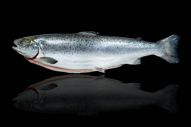 salmon fish against black background - chinook salmon stock photos and pictures