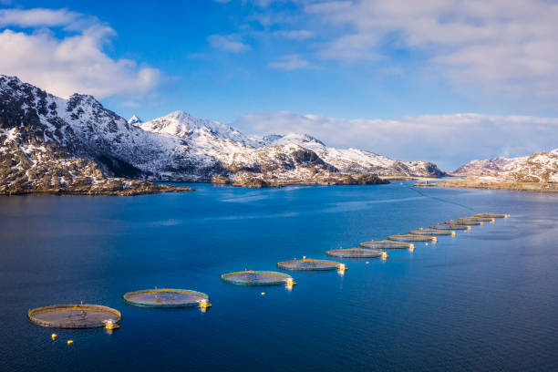 salmon fish farm in norwegian fjord, lofoten - norway - aquaculture stock pictures, royalty-free photos & images