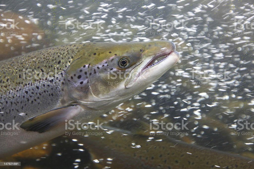 Salmon fish in the water, close-up stock photo