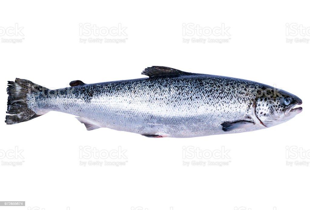 Lachs Fisch isolierten auf weißen Hintergrund. Frischer Wildlachs isoliert auf einem weißen. Frischer ganzer Lachs. Leeren Raum für Text. Kopieren Sie Raum. – Foto