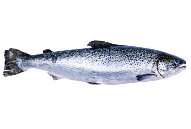 Salmon fish isolated on white background. Fresh wild salmon isolated on a white. Fresh whole salmon. Empty space for text. Copy space. Salmon fish isolated on white background. Fresh wild salmon isolated on a white. Fresh whole salmon. Empty space for text. Copy space. salmonidae stock pictures, royalty-free photos & images