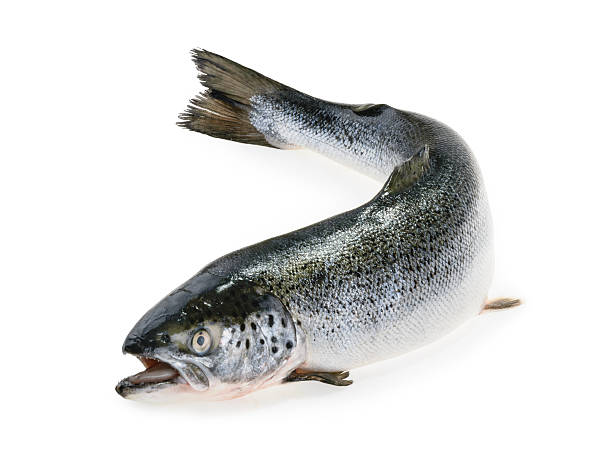 Salmon fish isolated on white Salmon fish isolated on white salmonidae stock pictures, royalty-free photos & images
