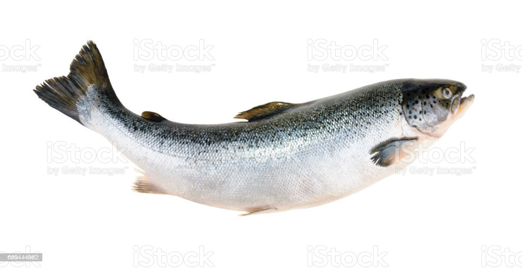 Salmon fish isolated on white without shadow stock photo
