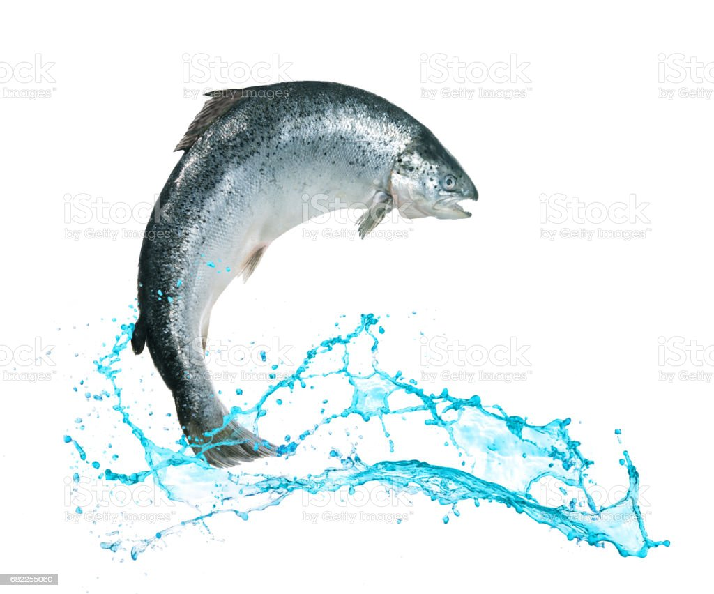 Salmon fish jumping out of water – Foto