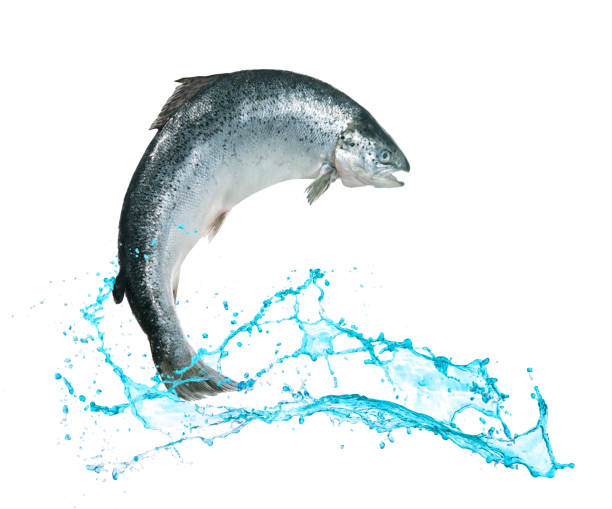 Salmon fish jumping out of water Atlantic salmon fish jumping out of water atlantic salmon stock pictures, royalty-free photos & images