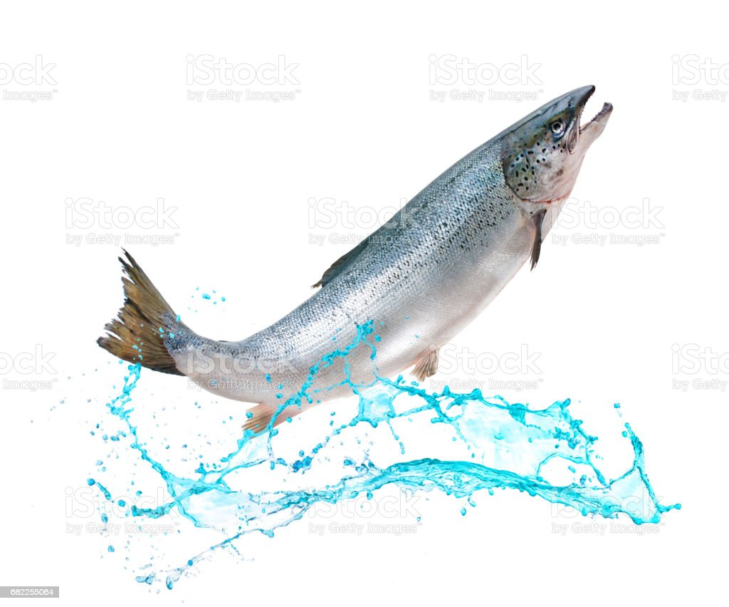 Salmon fish jumping out of water stock photo