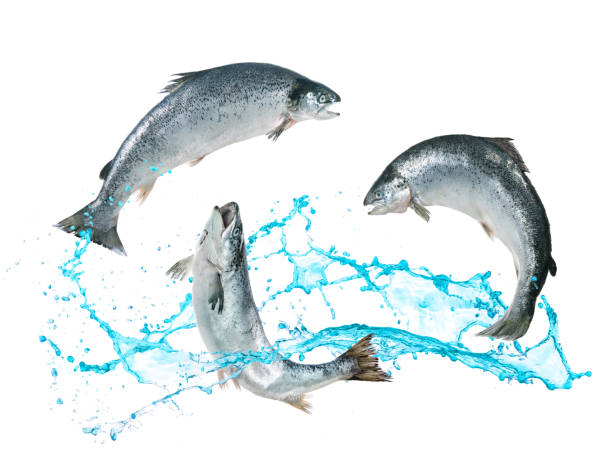 Salmon fish jumping out of water Atlantic salmon fishes jumping out of water atlantic salmon stock pictures, royalty-free photos & images