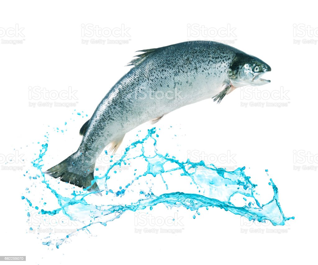 salmon fish jumping out of water stock photo amp more