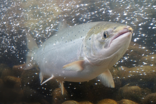 Salmon fish swimming in water, Norway.