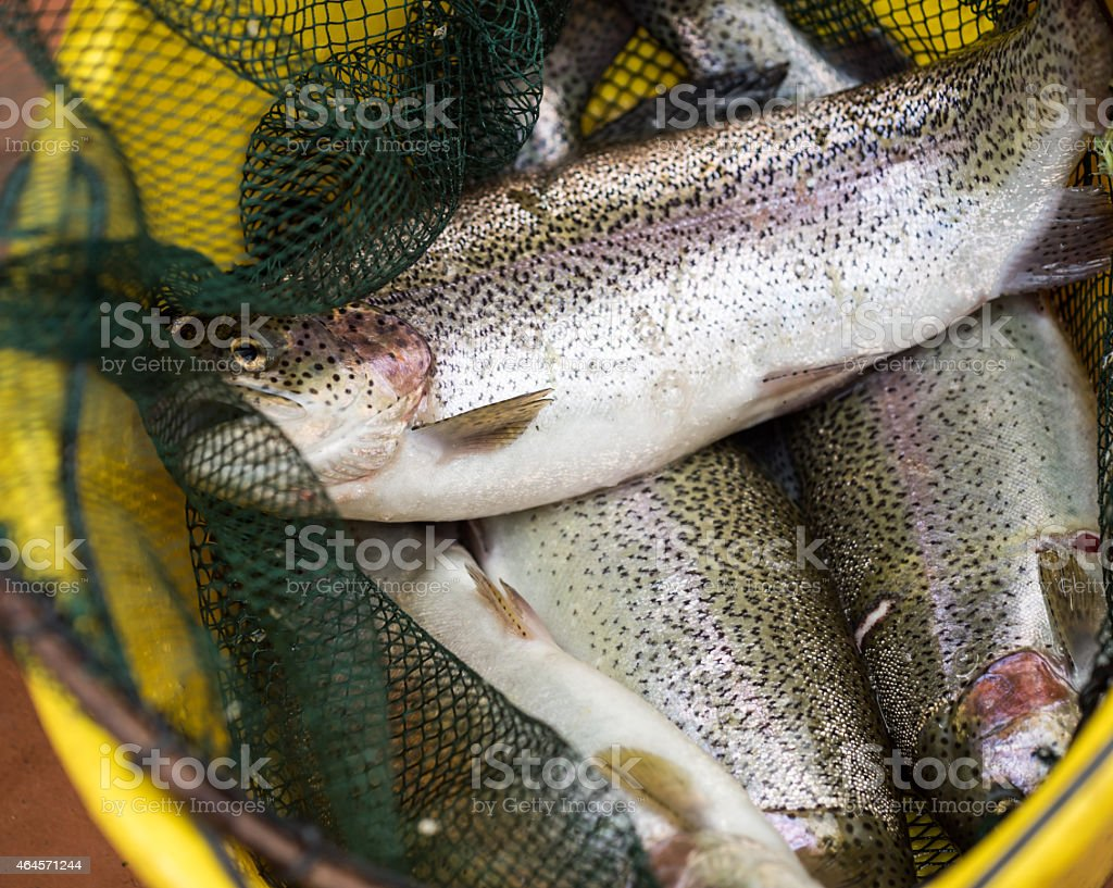 Salmon fish. stock photo