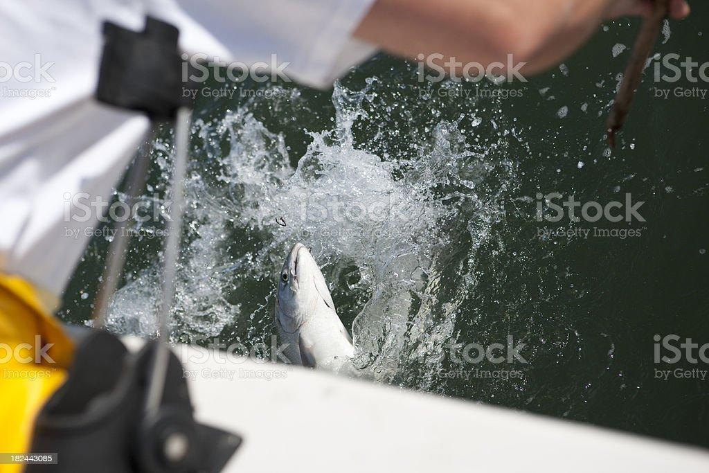 Salmon Fishing Action royalty-free stock photo