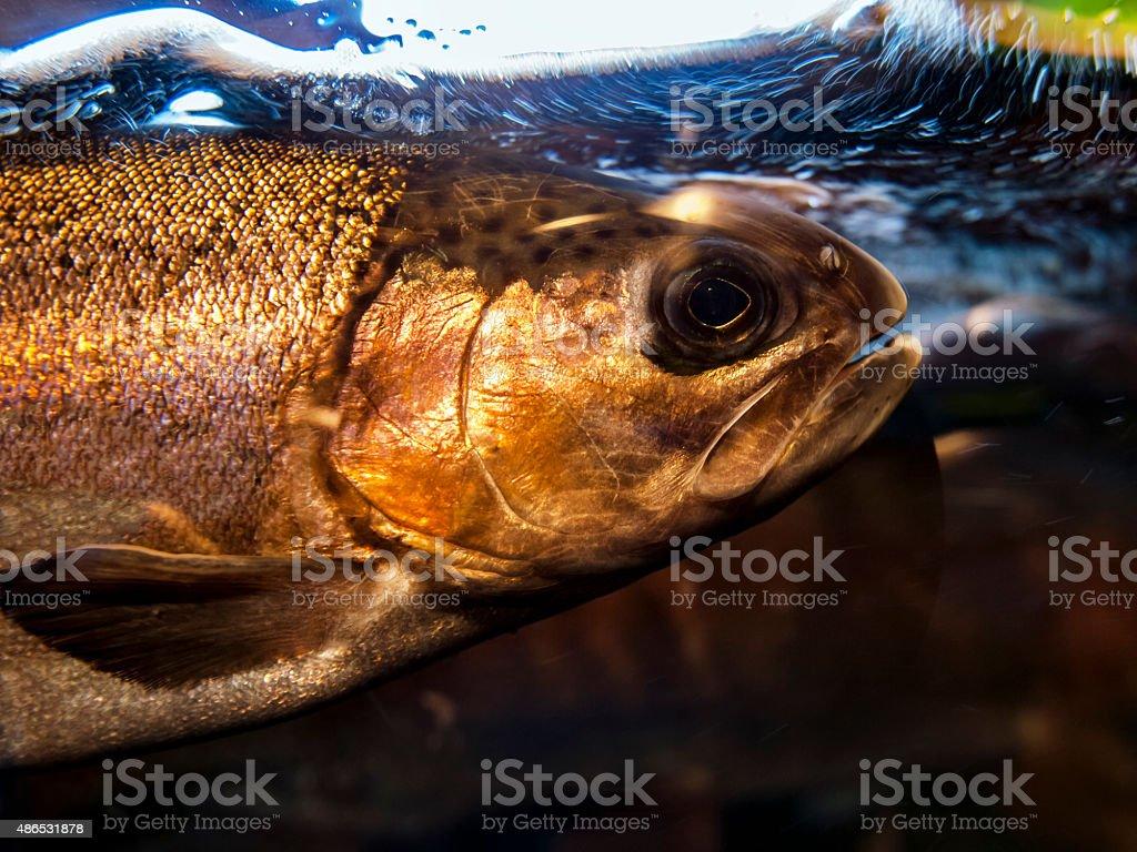 Salmon In Aquarium stock photo