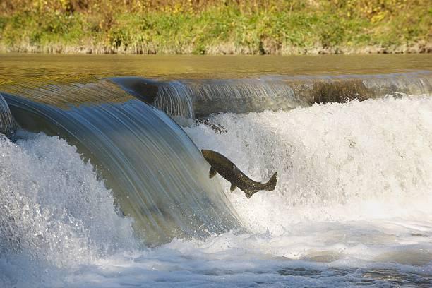 salmón en mid-air. - hueva fotografías e imágenes de stock