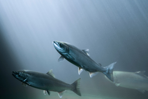 Salmon on their way up the fish ladder of a dam on the Columbia River, Oregon.