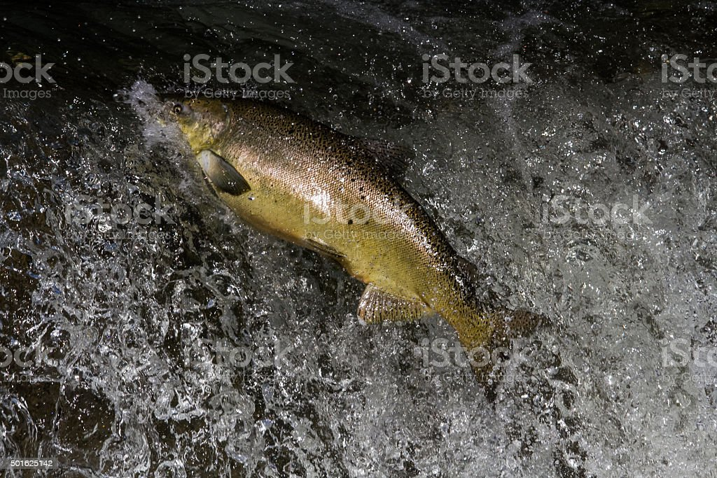 Salmon Jumping stock photo