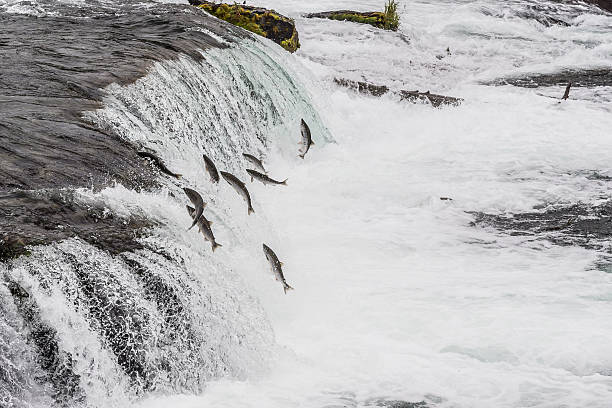 salmon jumping - dally stock pictures, royalty-free photos & images