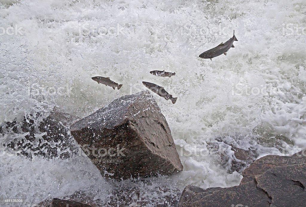 Salmon Jumping River stock photo
