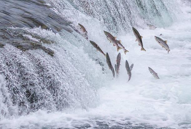 Salmon Jumping Up the Falls Salmon Jumping Up the Brooks Falls at Katmai National Park, Alaska salmonidae stock pictures, royalty-free photos & images