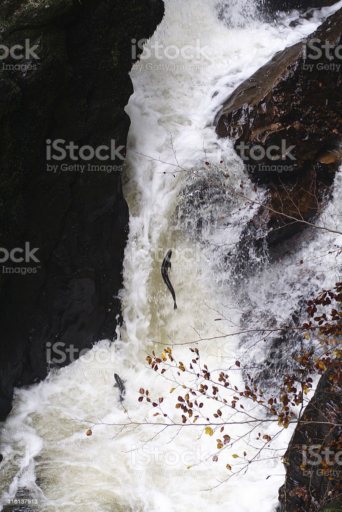 Salmon Leaping stock photo
