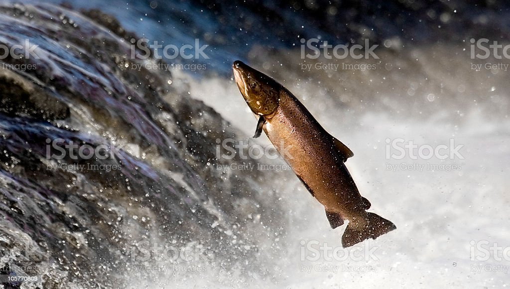 Salmon leaping rapids stock photo