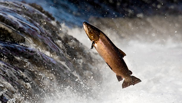 Salmon leaping rapids  salmonidae stock pictures, royalty-free photos & images