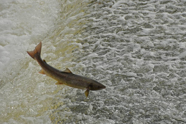Salmon leaping weir. Atlantic salmon leaping weir on the River Severn, Shrewsbury, Shropshire, UK atlantic salmon stock pictures, royalty-free photos & images
