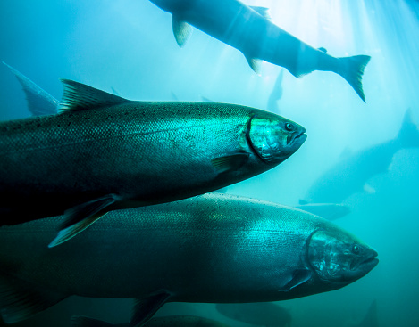 Chinook salmon make their way up the Columbia River.