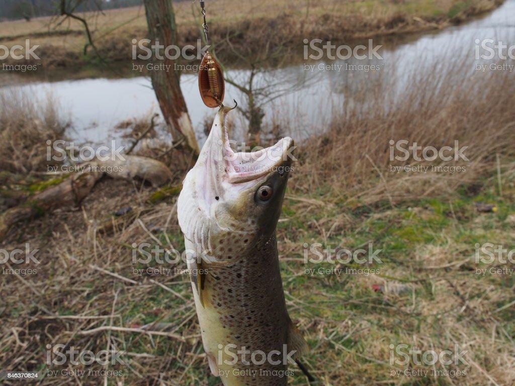 salmon on fishing-rod stock photo