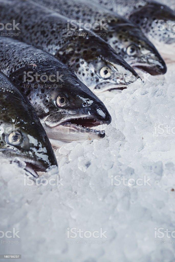 Salmon on Ice royalty-free stock photo