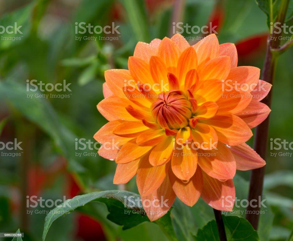 Salmon Orange Dahlia Flower Beatyful Bouquet Or Decoration From The