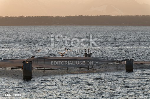 Seattle, USA - Mar 4, 2019: A salmon net visible from Myrtle Edwards Park late in the day just before sunset. The Salmon Pen is jointly operated by the Port of Seattle and the Muckleshoot and Suquamish Indian tribe.