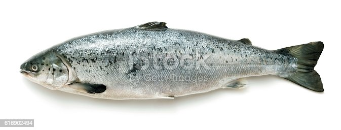 Whole salmon on white background