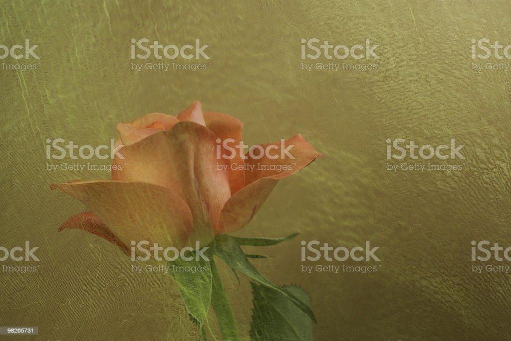 salmon pink rose royalty-free stock photo