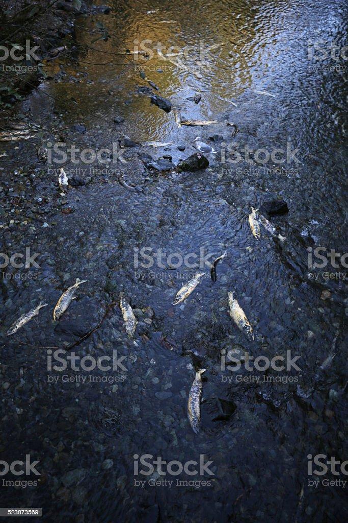 Salmon Run in Goldstream River, Vancouver Island, British Columbia, Canada stock photo