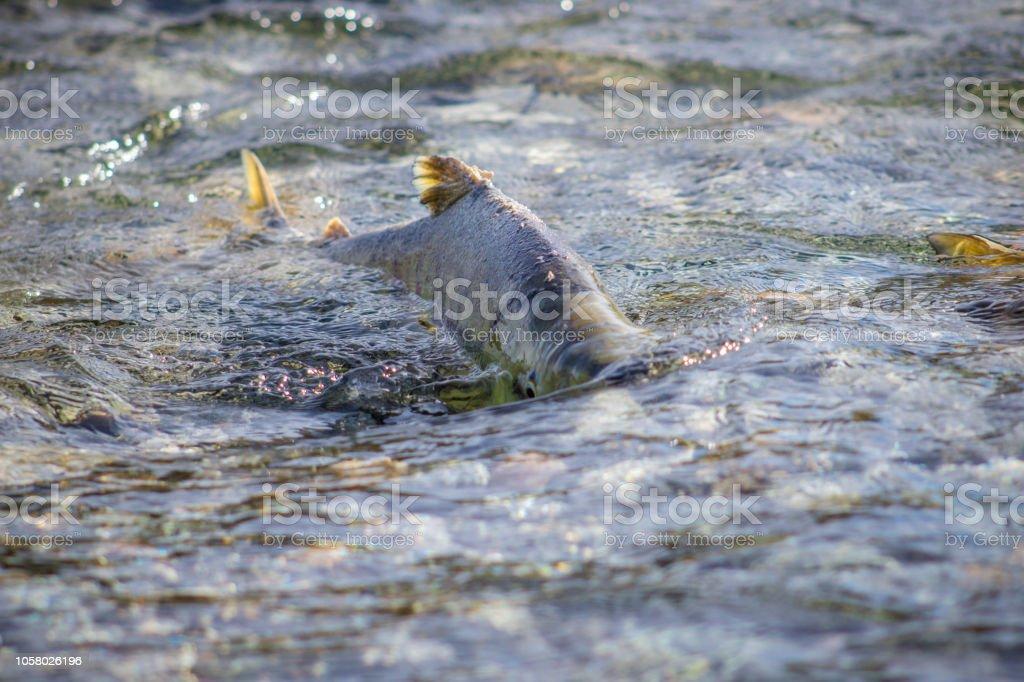 Salmon run stock photo