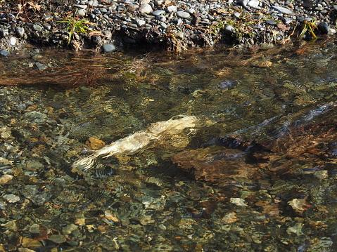 istock Salmon run 1166286067